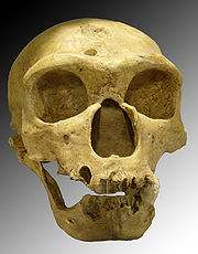 180px-Homo_sapiens_neanderthalensis.jpg