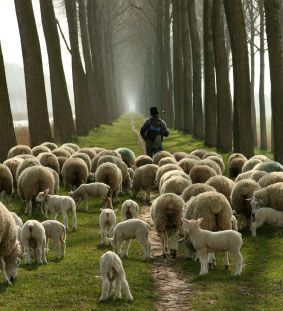 sheep-with-shepherd.jpg