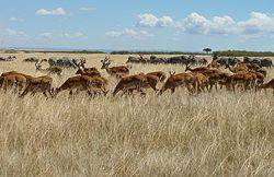 250px-Herds_Maasi_Mara_(cropped_and_straightened).jpg