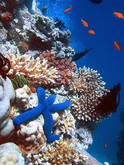 250px-Blue_Linckia_Starfish.JPG