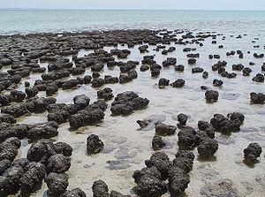 300px-Stromatolites_in_Sharkbay.jpg