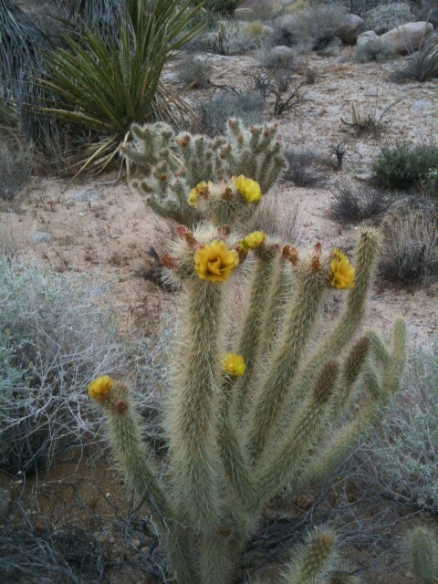 blooming cholla cactus.jpg