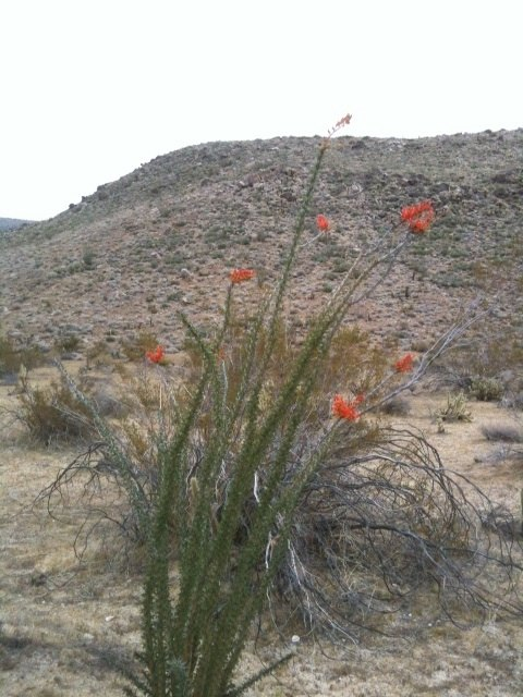 ocotillo in bloom.jpg