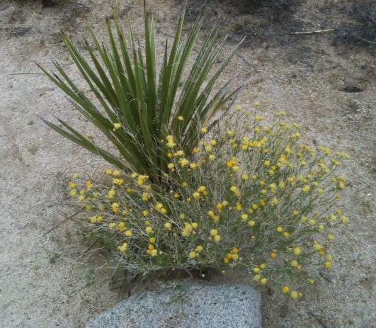 desert yellow flowers.jpg
